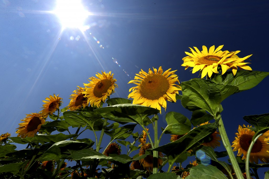Sunflowers grow in a field near Mamming, Germany, Tuesday, July 28, 2020. (AP Photo/Matthias Schrader)
