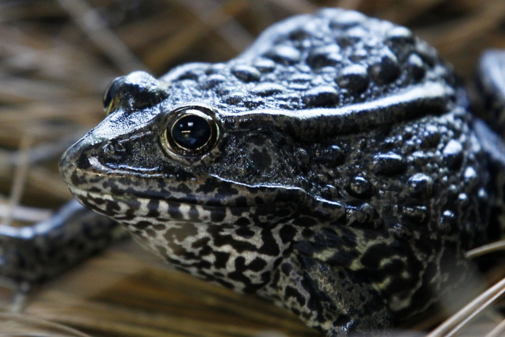 FILE - In this Sept. 27, 2011, file photo, is a gopher frog at the Audubon Zoo in New Orleans. Federal wildlife officials are proposing limits on what...