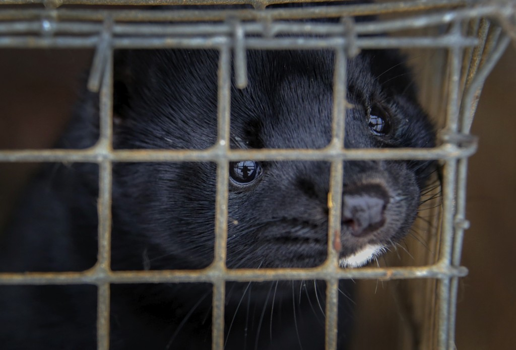 FILE - In this Dec. 6, 2012, file photo, minks look out of a cage at a fur farm in the village of Litusovo, northeast of Minsk, Belarus. Coronavirus o...