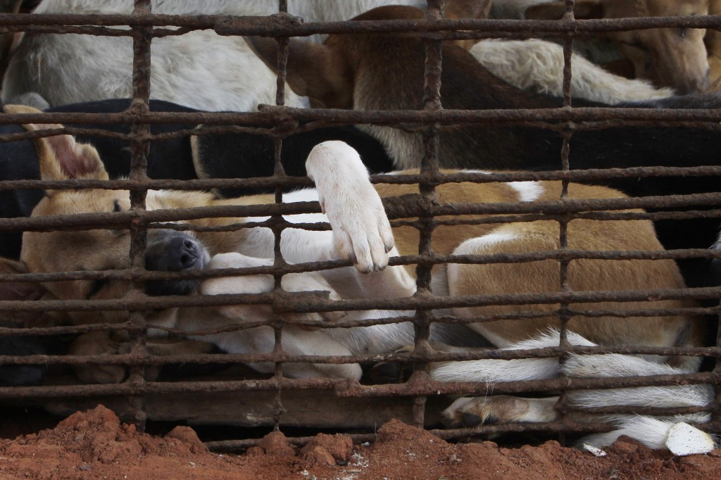 Dogs lay in a cage in a slaughterhouse as they wait for the FOUR PAWS International, rescue them at Chi Meakh village in Kampong Thom province north o...