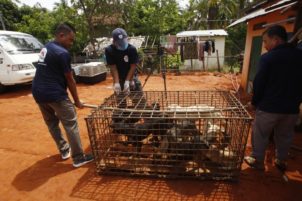 Staff members of FOUR PAWS International, carry a big dog's cage before they loading into their cages at Chi Meakh village in Kampong Thom province no...