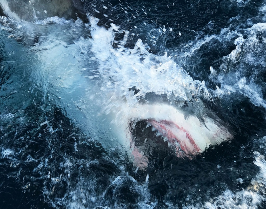 """This image released by Discovery Channel shows a shark breaking through the water in a scene from """"Shark Lockdown,"""" premiering Sunday, Aug. 9, one of ..."""