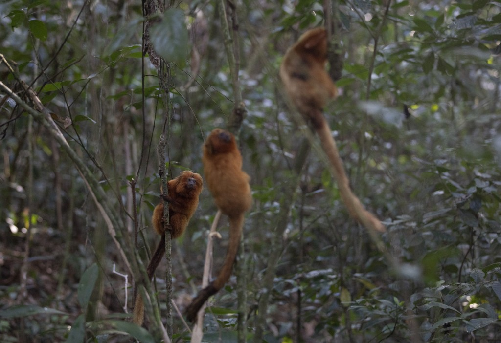 Golden Lion Tamarins hold on to trees in the Atlantic Forest region of Silva Jardim in Rio de Janeiro state, Brazil, Thursday, Aug. 6, 2020. A recentl...