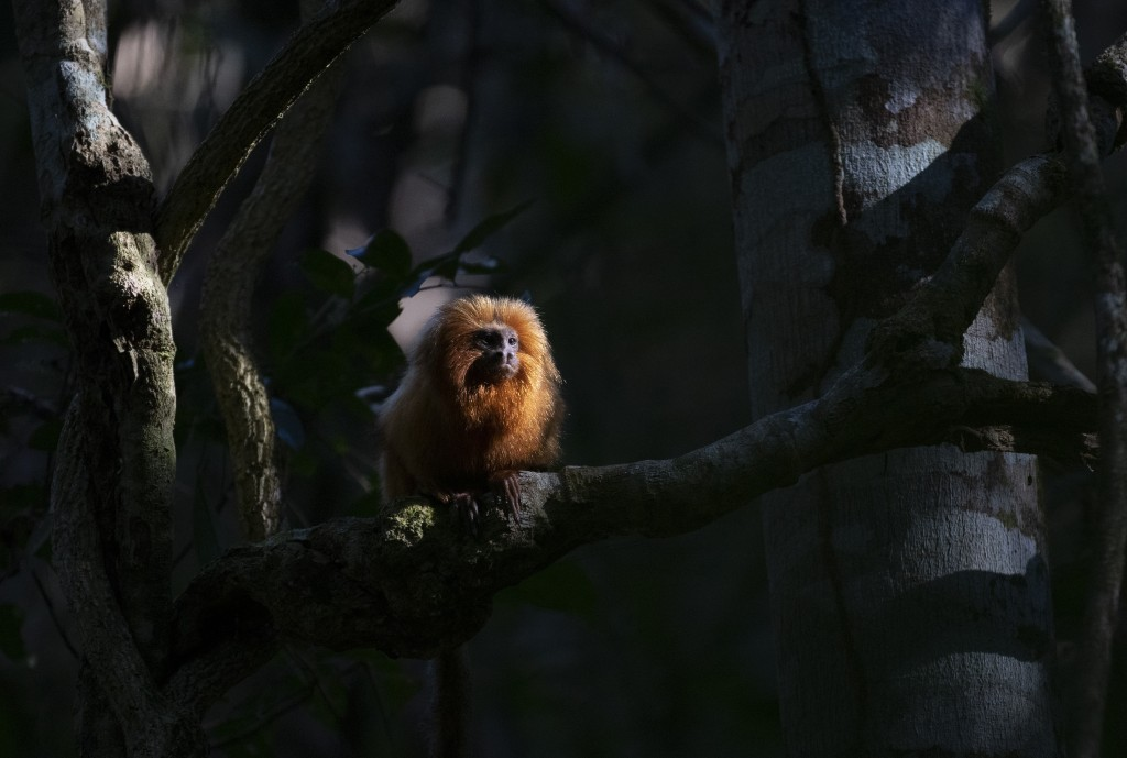 A Golden Lion Tamarin sits on a tree in the Atlantic Forest region of Silva Jardim in Rio de Janeiro state, Brazil, Thursday, Aug. 6, 2020. A recently...
