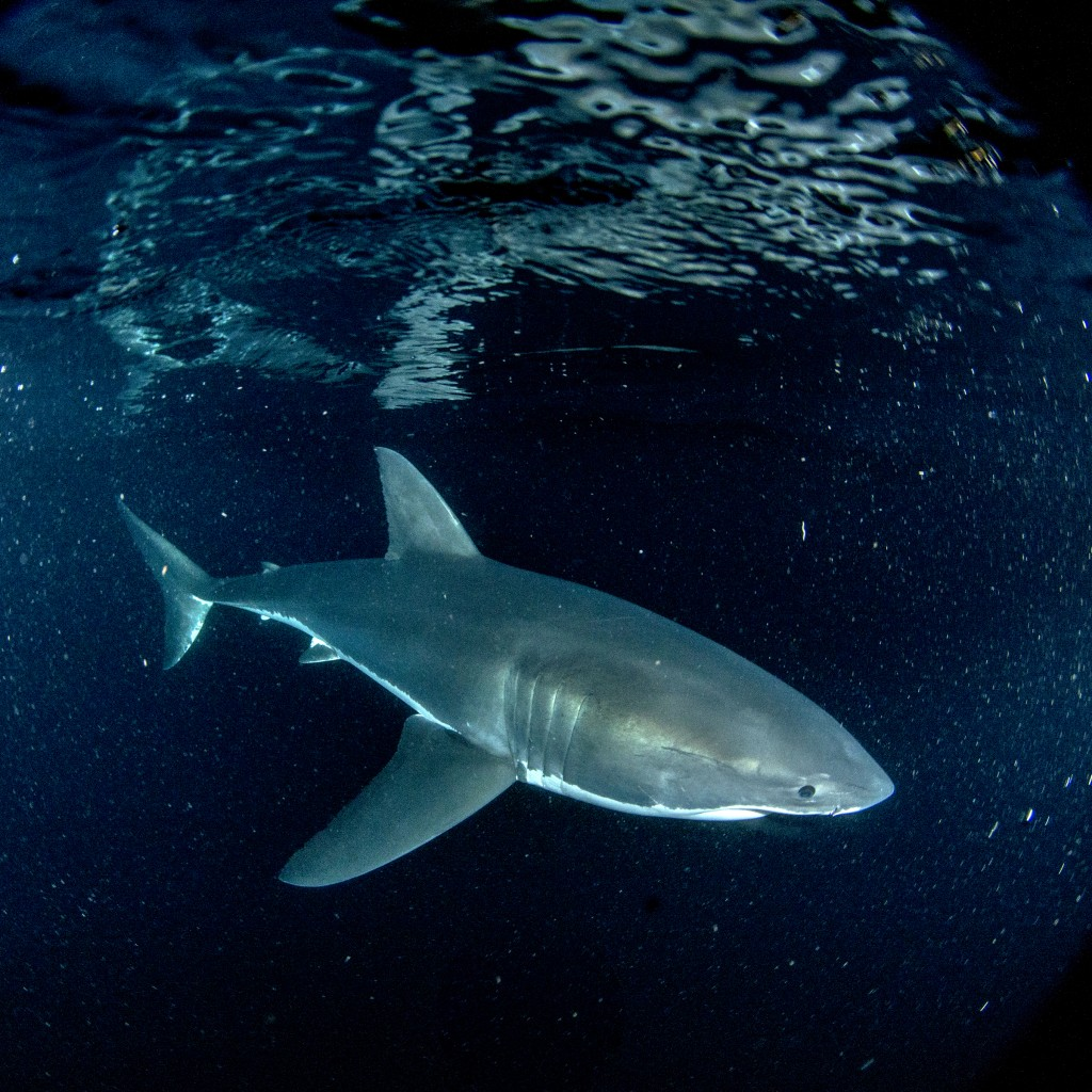 """This image released by Discovery Channel shows a scene from """"Sharks of Neptune,"""" airing Thursday as part of Shark Week 2020 on Discovery Channel. (Dis..."""