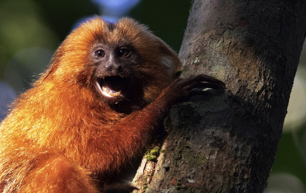 A Golden Lion Tamarin holds on to a tree in the Atlantic Forest region of Silva Jardim in Rio de Janeiro state, Brazil, Thursday, Aug. 6, 2020. A rece...