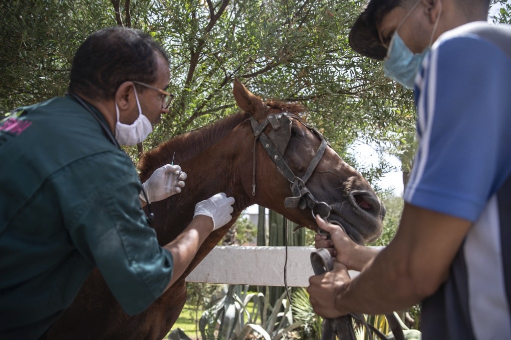 A doctor inspects a sick horse at the SPANA shelter in Marrakech, Morocco, Wednesday, July 22, 2020. Morocco's restrictions to counter the coronavirus...