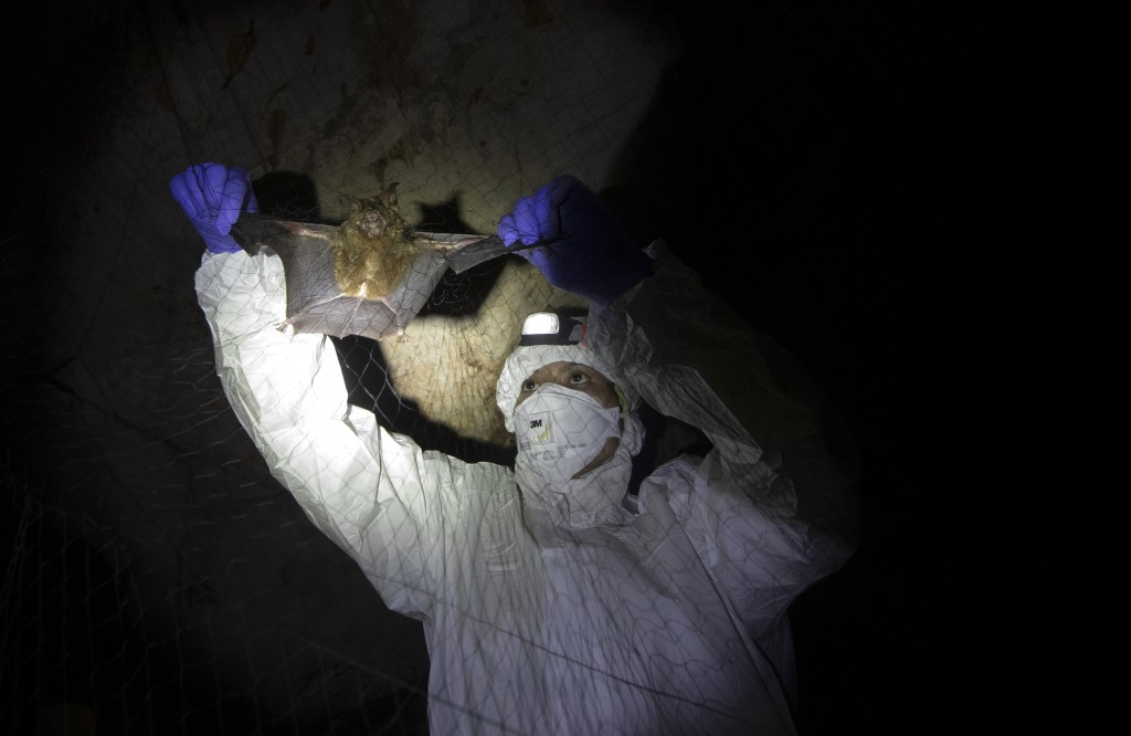 Researcher removing bat from a trapping net in cave inside Sai Yok National Park in Kanchanaburi province, west of Bangkok, Thailand, Saturday, Aug. 1...