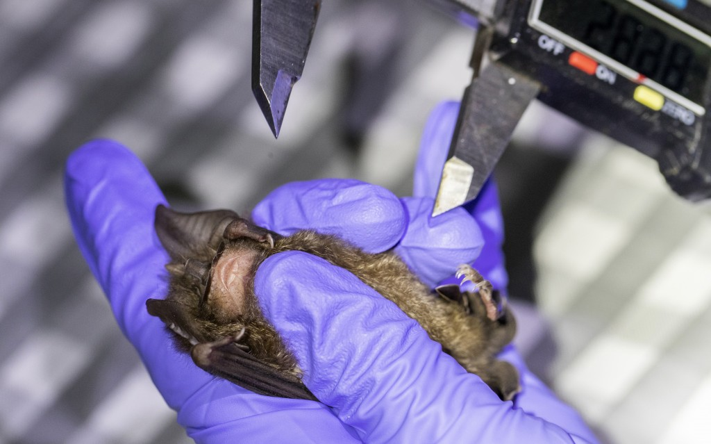 A researcher measures a bat inside Sai Yok National Park in Kanchanaburi province, west of Bangkok, Thailand, Friday, July 31, 2020. Researchers in Th...