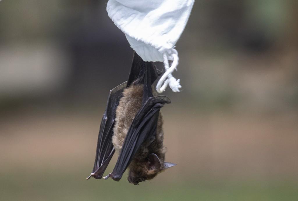 A researcher releases a bat after taking blood sample bat inside Sai Yok National Park in Kanchanaburi province, west of Bangkok, Thailand, Saturday, ...