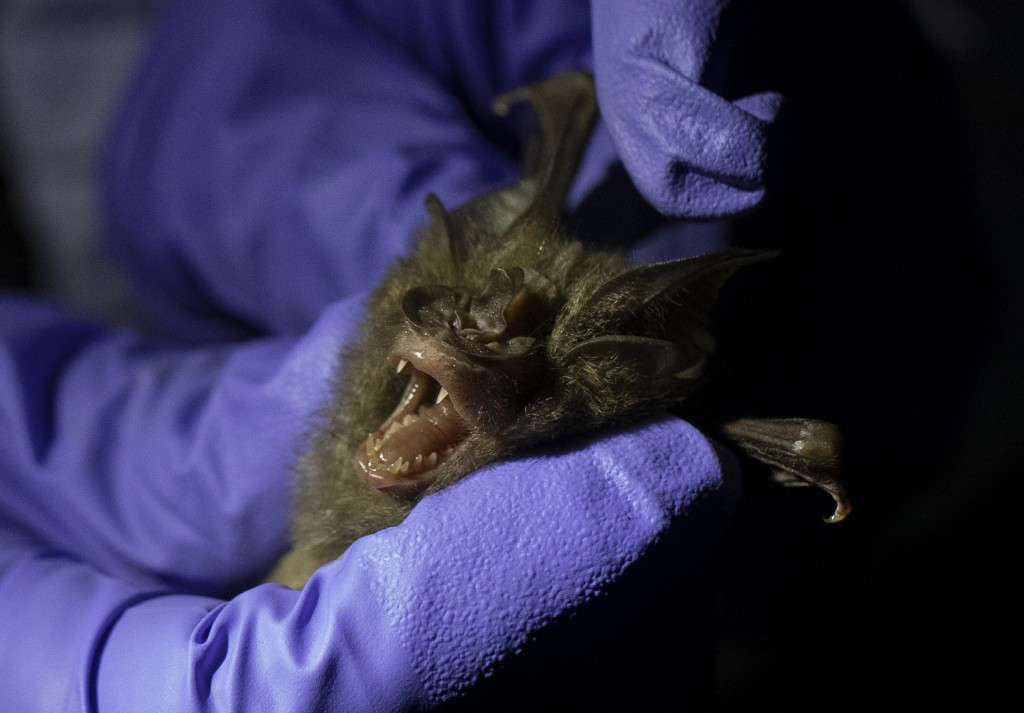 A researcher measures a bat inside a cave at Sai Yok National Park in Kanchanaburi province, west of Bangkok, Thailand, Friday, July 31, 2020. Researc...