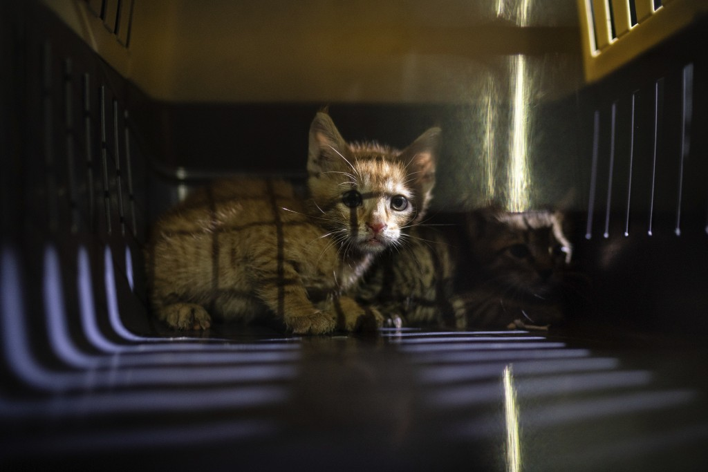 Two kittens that were hiding among debris of a damaged building near the site of last week's massive explosion sit in a cage after being rescued by me...