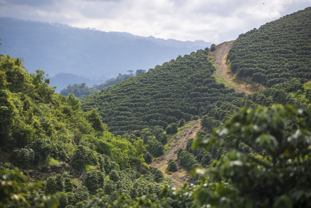A road runs through a coffee plantation in Coban, Guatemala, Tuesday, Aug. 18, 2020.  Indigenous families on a nearby plantation in Cubilguitz have be...