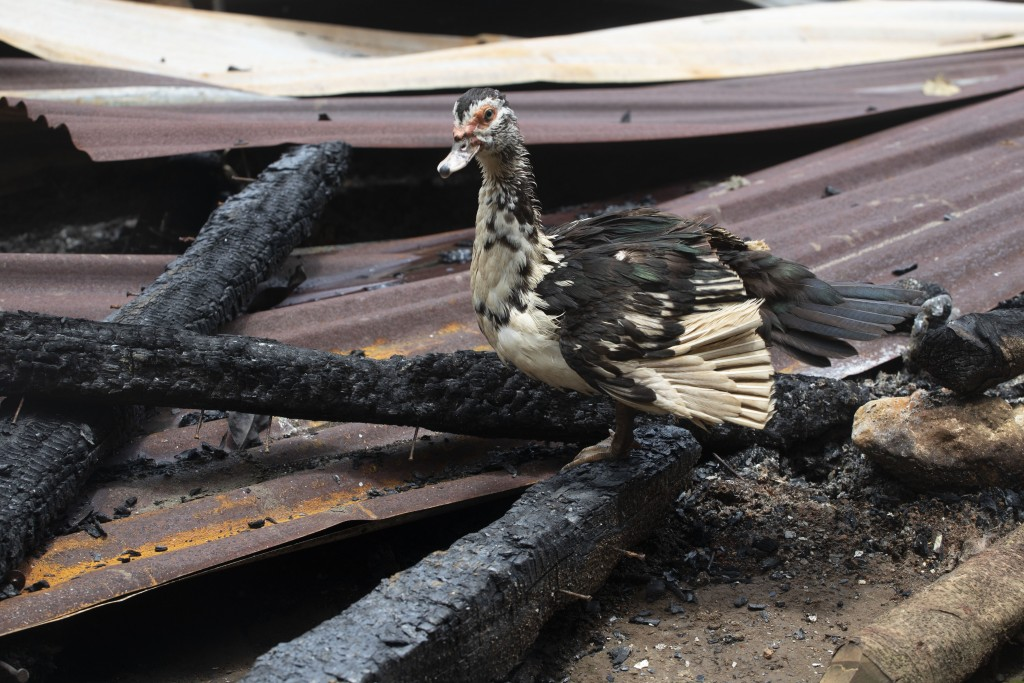 A bird stands on charred wood amid the rubble of shack homes that were burned down by unidentified, armed men, on a coffee plantation in Cubilguitz, G...