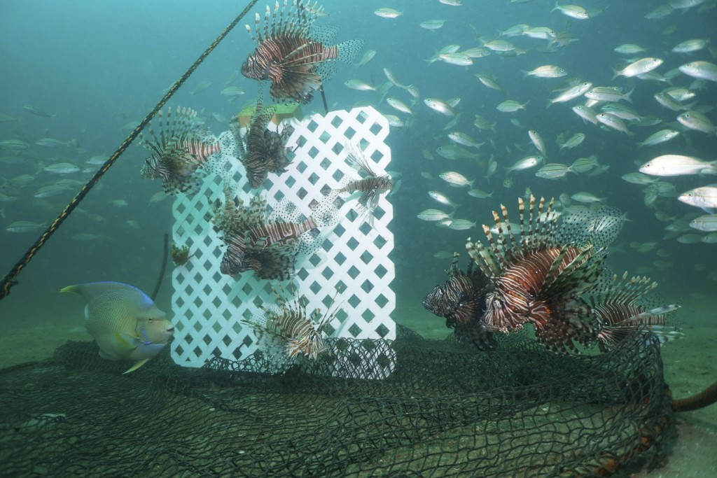 Lionfish, lured by a sheet of plastic lattice, swim near a trap offshore near Destin, Fla., on July 6, 2018. Scientists are looking at traps as a bett...