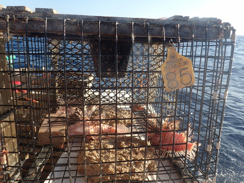This photo provided by the Florida Fish and Wildlife Conservation Commission show lionfish caught in a modified lobster trap on March 5, 2020, in Atla...
