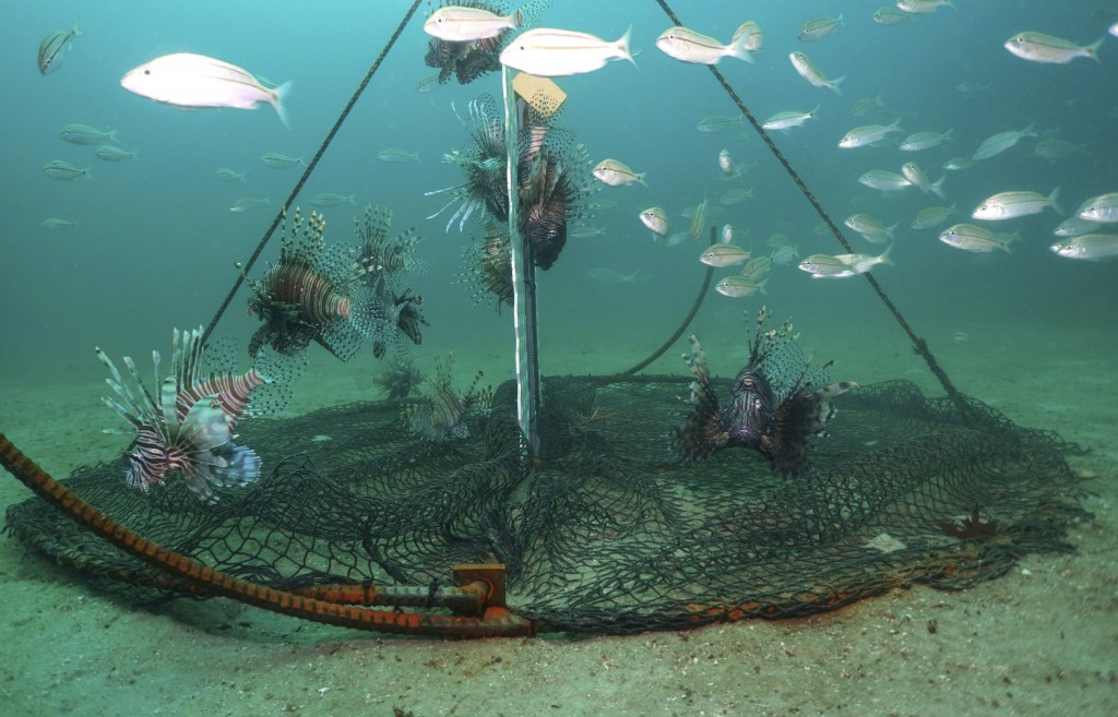 Lionfish swim near a trap offshore near Destin, Fla., on July 6, 2018. Scientists are looking at traps as a better way to kill the beautiful but bruta...