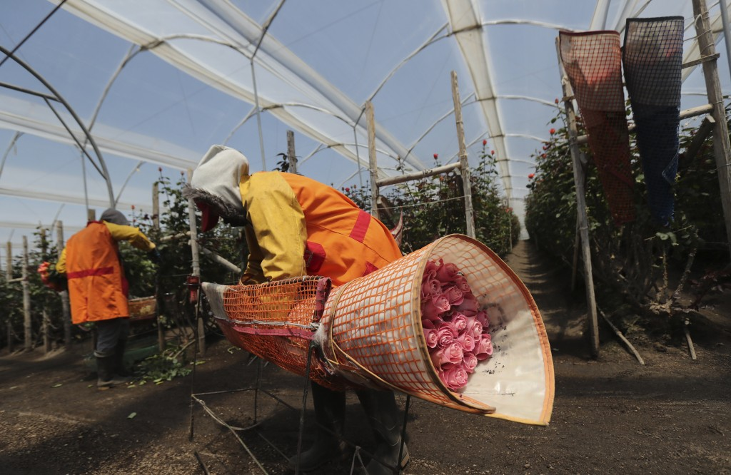 Women harvest flowers at Quito Inor Flowers, in Lasso, Ecuador, Tuesday, Aug. 25, 2020. Demand for Ecuador's prized flowers has struggled to rebound a...