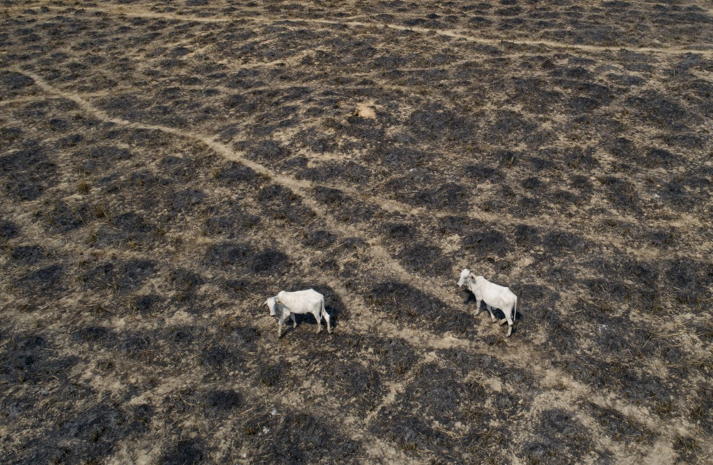 Cattle graze land cleared and burned by cattle farmers near Novo Progresso, Para state, Brazil, Sunday, Aug. 23, 2020. Under military command, Brazil'...