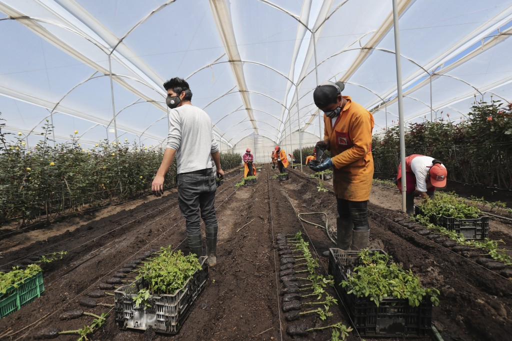 Workers plant new flowers at Quito Inor Flowers, a farm in Lasso, Ecuador, Tuesday, Aug. 25, 2020. Because of the new coronavirus pandemic downturn of...