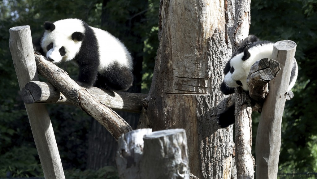 The Panda bear cubs Meng Xiang (nickname Piet), right, and Meng Yuan (nickname Paule), left, are climb in their enclosure during their first birthday ...