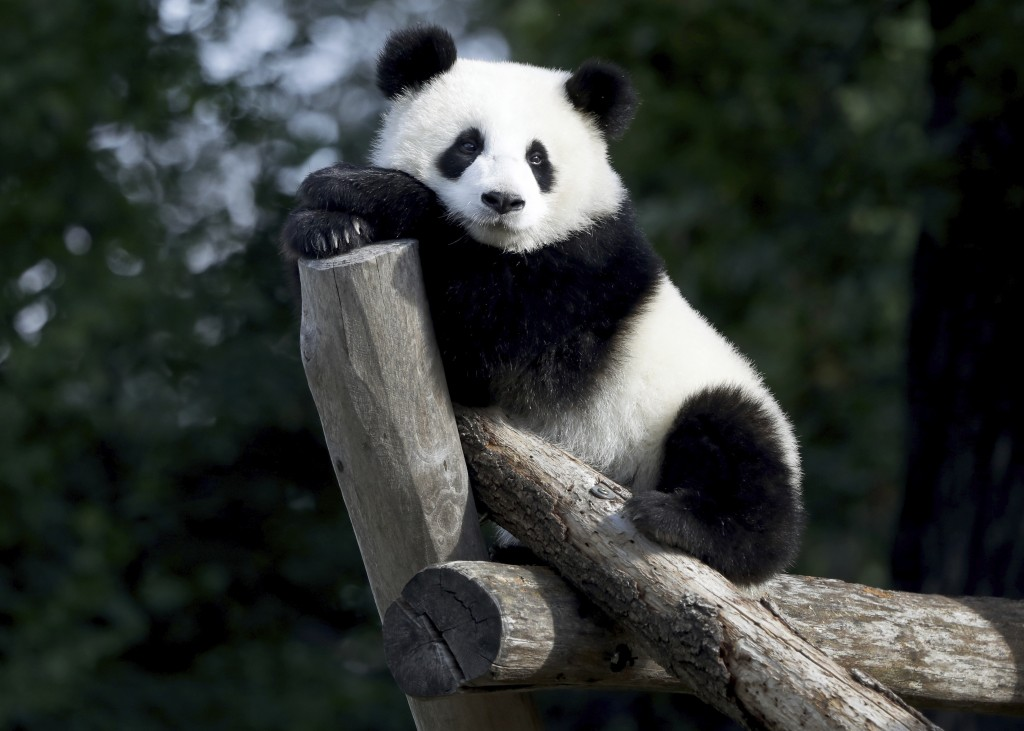 The Panda bear cub Meng Xiang (nickname Piet) sits in its enclosure during its first birthday in Berlin, Germany, Monday, Aug. 31, 2020. (AP Photo/Mic...