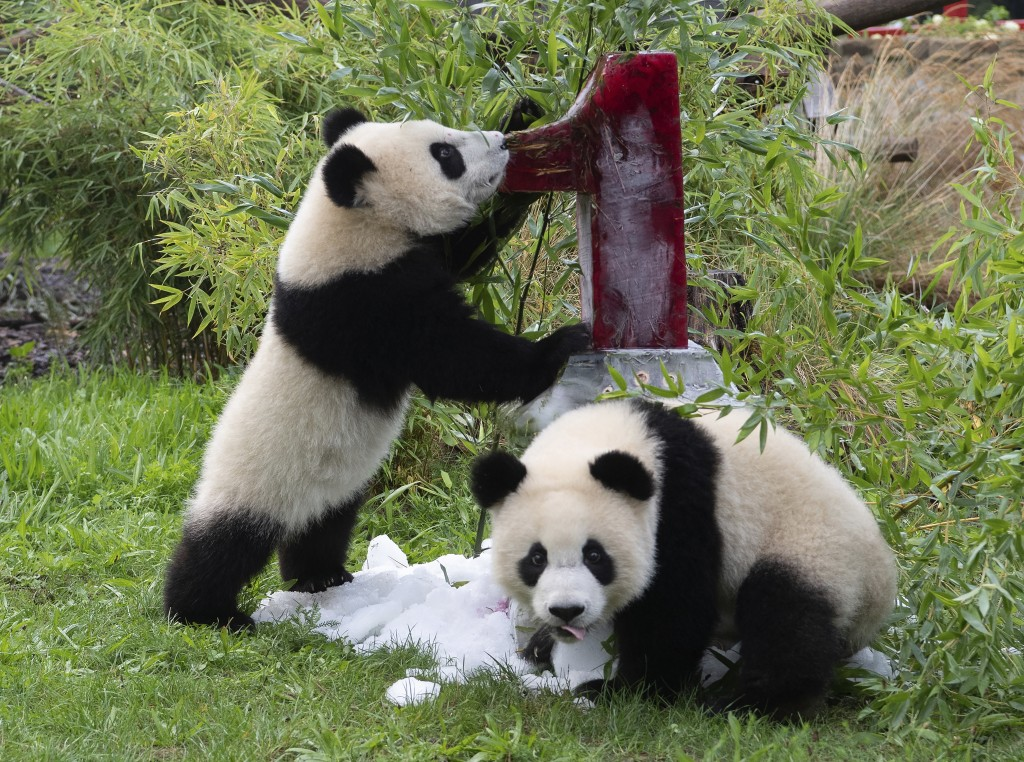 Two young pandas Meng Xiang (nickname Piet) and Meng Yuan (nickname Paule) eat an ice cream cake in their enclosure during their first birthday in Ber...