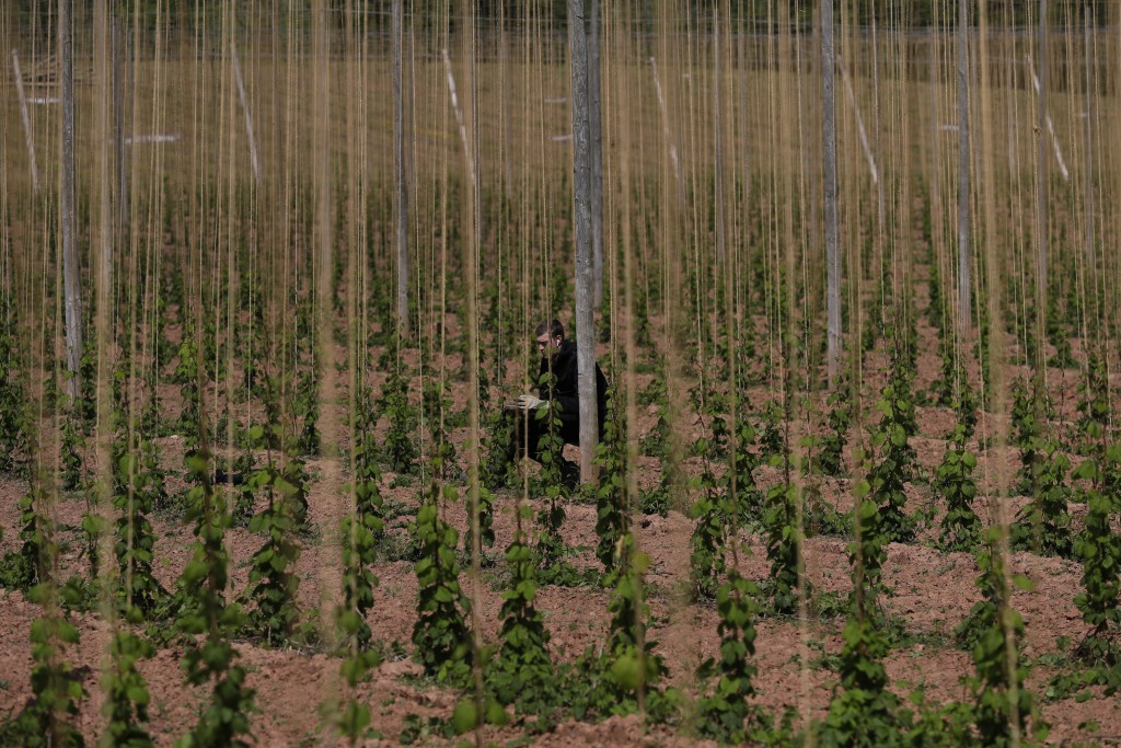 FILE - In this May 5, 2020, file photo, a seasonal worker trains the growing hops by winding or tying two or three shoots clockwise to each string, at...