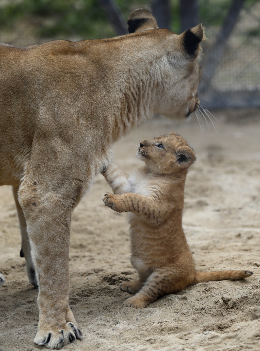 A Barbary lion Khalila walks with one of her cubs in their enclosure at the zoo in Dvur Kralove, Czech Republic, Thursday, Sept. 10, 2020. Three Barba...