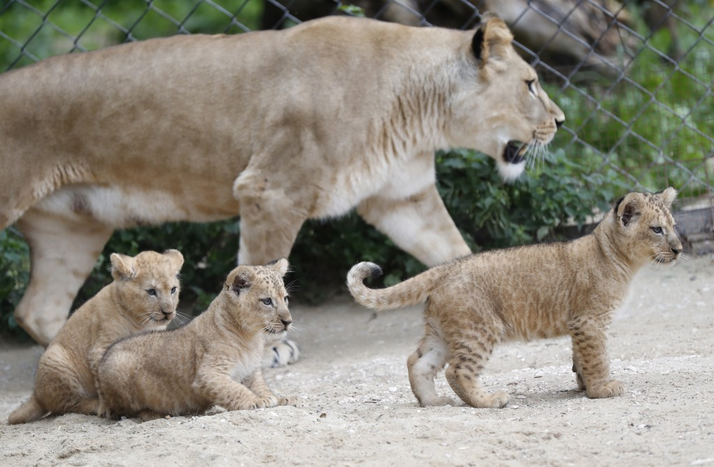 A Barbary lion Khalila walks with her cubs in their enclosure at the zoo in Dvur Kralove, Czech Republic, Thursday, Sept. 10, 2020. Three Barbary lion...