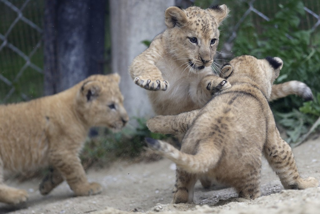 Barbary lion cubs play in their enclosure at the zoo in Dvur Kralove, Czech Republic, Thursday, Sept. 10, 2020. Three Barbary lion cubs have been born...
