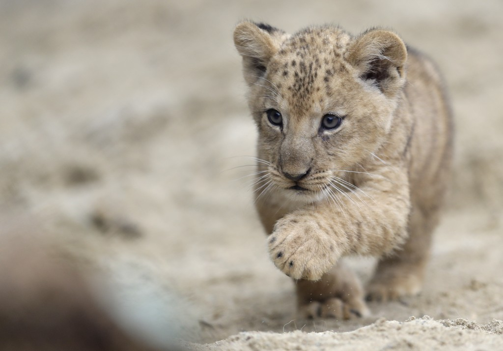 A Barbary lion cub walks in its enclosure at the zoo in Dvur Kralove, Czech Republic, Thursday, Sept. 10, 2020. Three Barbary lion cubs have been born...