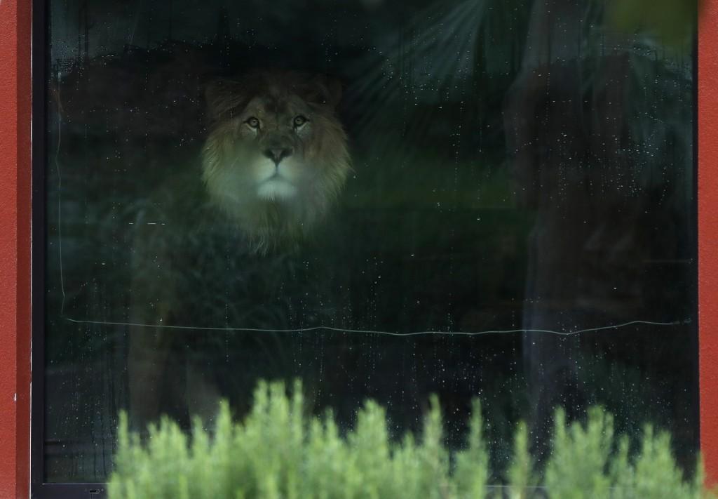 The Barbary lion Napoleon looks out of its enclosure at the zoo in Dvur Kralove, Czech Republic, Thursday, Sept. 10, 2020. (AP Photo/Petr David Josek)
