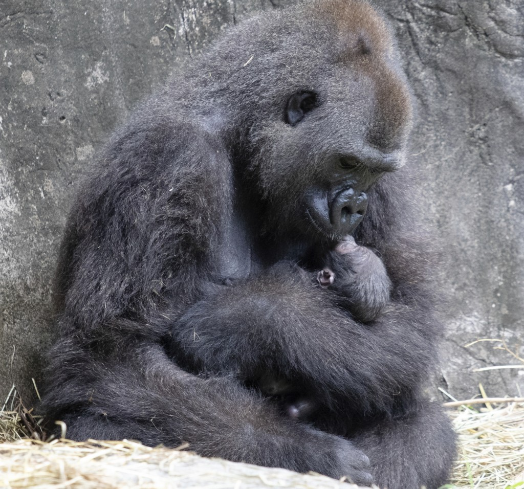 FILE - In this photo provided by the Audubon Nature Institute, Tumani, a critically endangered western lowland gorilla holds her newborn at an enclosu...