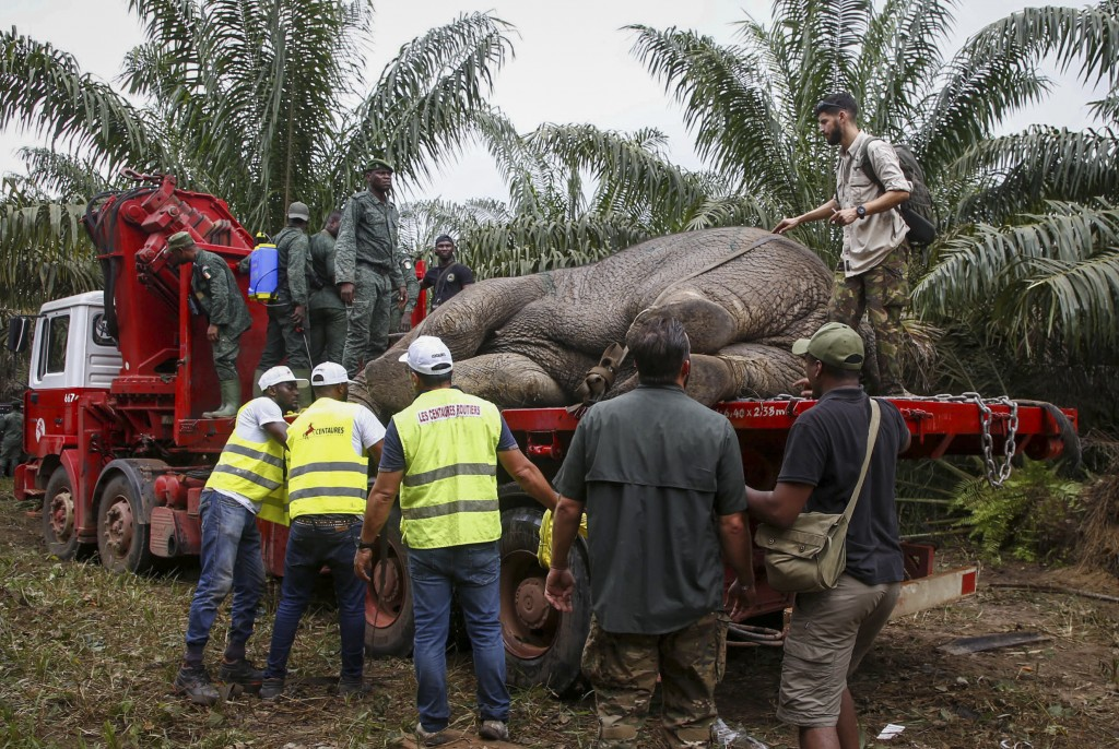 A wild elephant is prepared to be transported as part of operations carried out by authorities to catch and relocate wild elephants who have upset far...