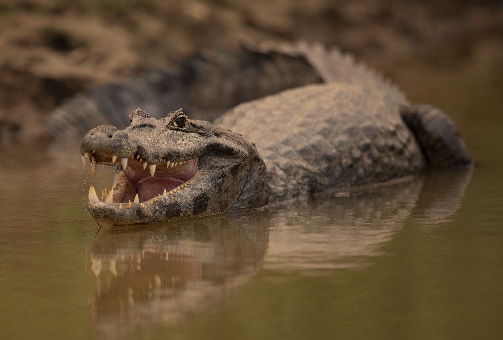 An alligator remains idling at the Encontro das Aguas park at the Pantanal wetlands near Pocone, Mato Grosso state, Brazil, Saturday, Sept. 12, 2020. ...