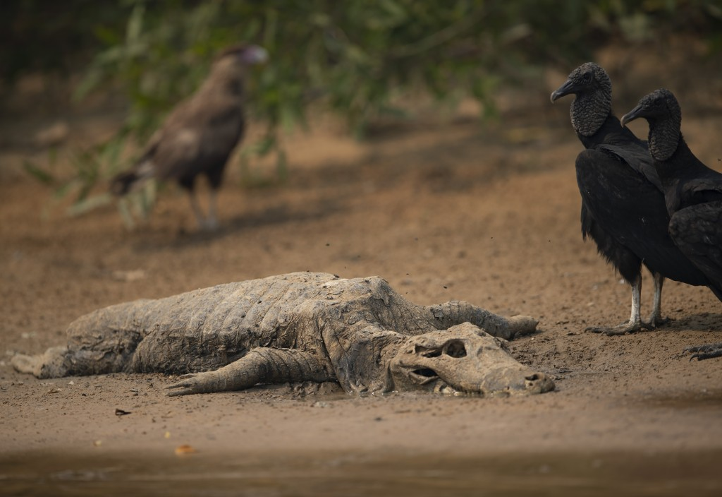 Vultures stand next to the carcass of a alligator on the banks of the Cuiaba river at the Encontro das Aguas Park in the Pantanal wetlands near Pocone...