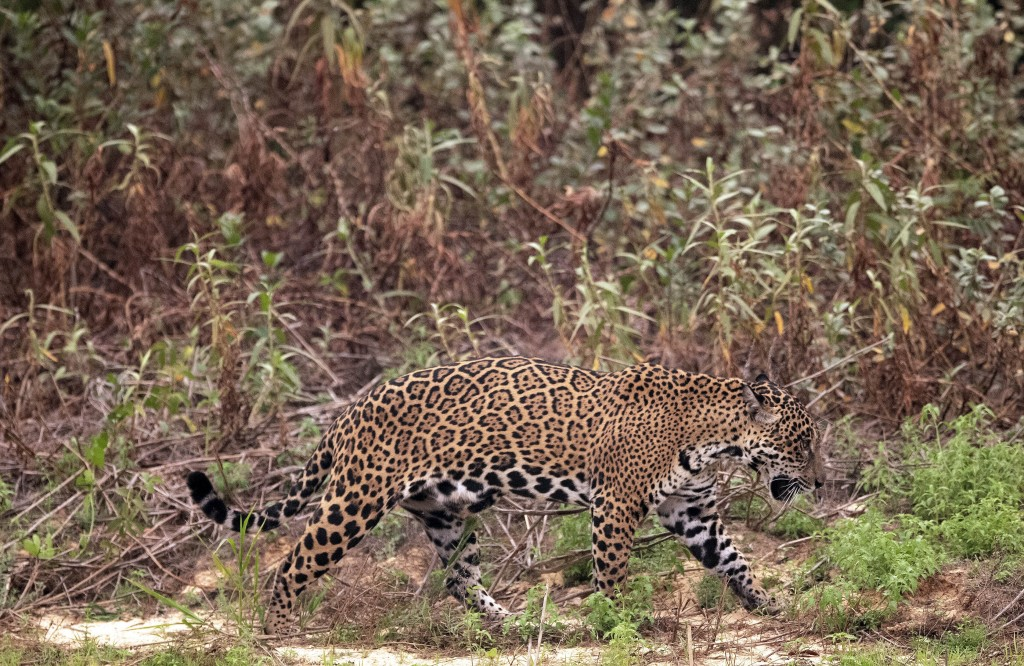 A jaguar limps along the banks of the Piqueri river in the Encontro das Aguas Park near Pocone, Mato Grosso state, Brazil, Saturday, Sept. 12, 2020. W...
