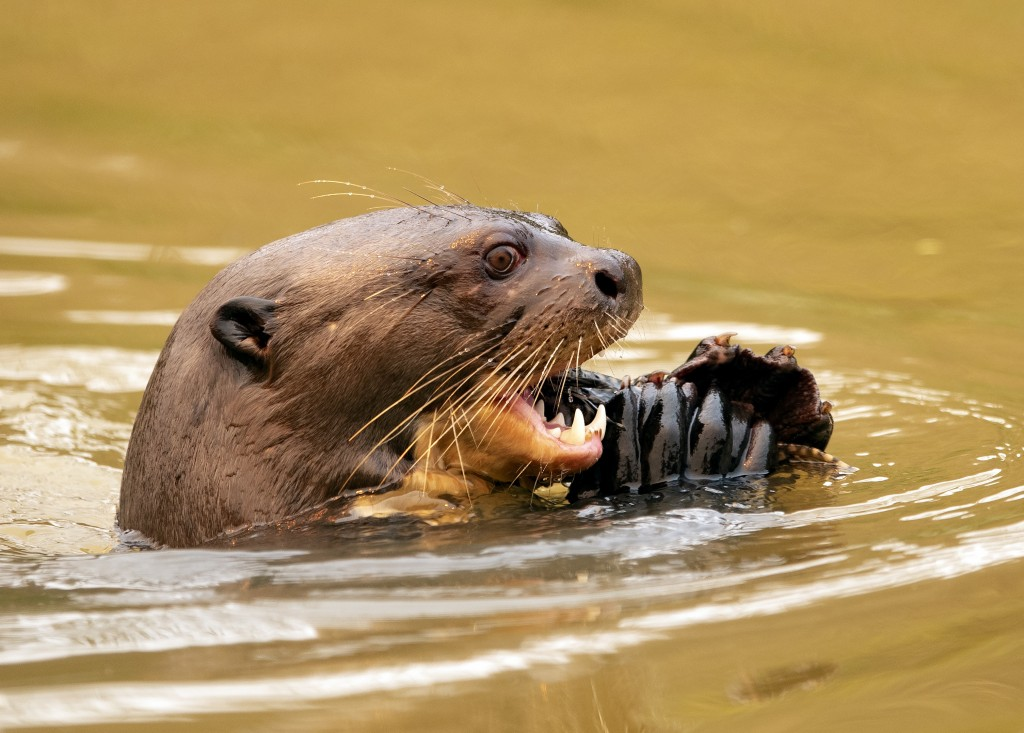 An otter eats a fish at the Encontro das Aguas park at the Pantanal wetlands near Pocone, Mato Grosso state, Brazil, Saturday, Sept. 12, 2020. Wildfir...