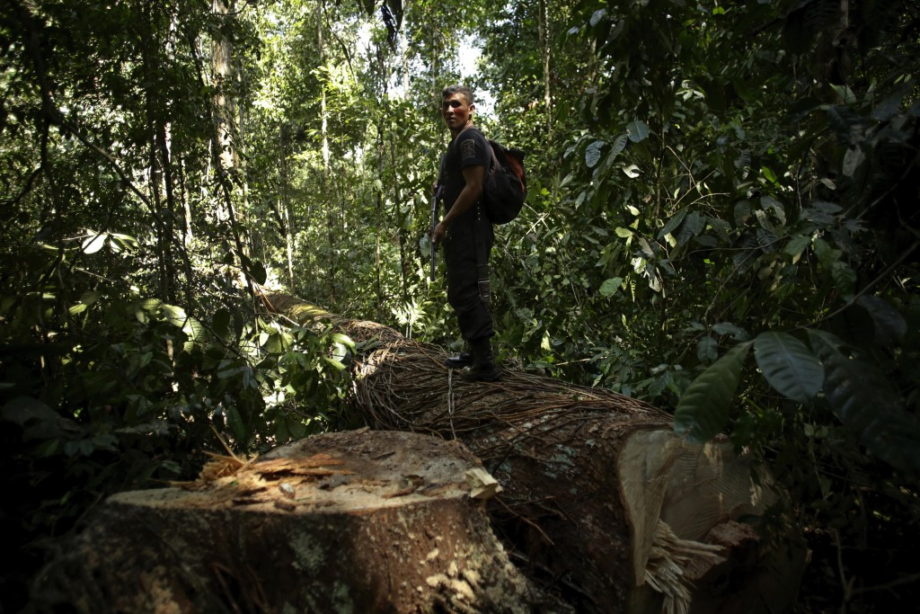 Tenetehara Indigenous man Romario Tembe, from the Ka'Azar, or Forest Owners, stands on a Piquiarana tree felled by illegal loggers, one of whom was fo...