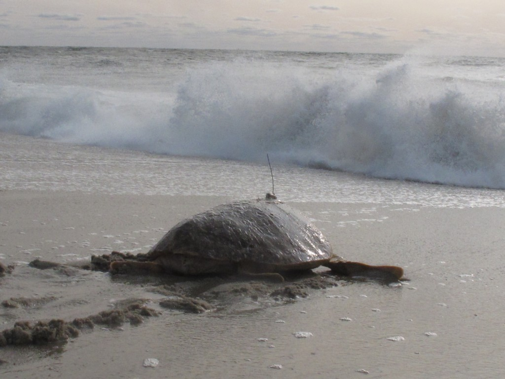 Tabitha, a 168-pound loggerhead turtle, crawls toward the surf in Point Pleasant Beach, N.J. after being released Tuesday, Sept. 15, 2020, by Sea Turt...