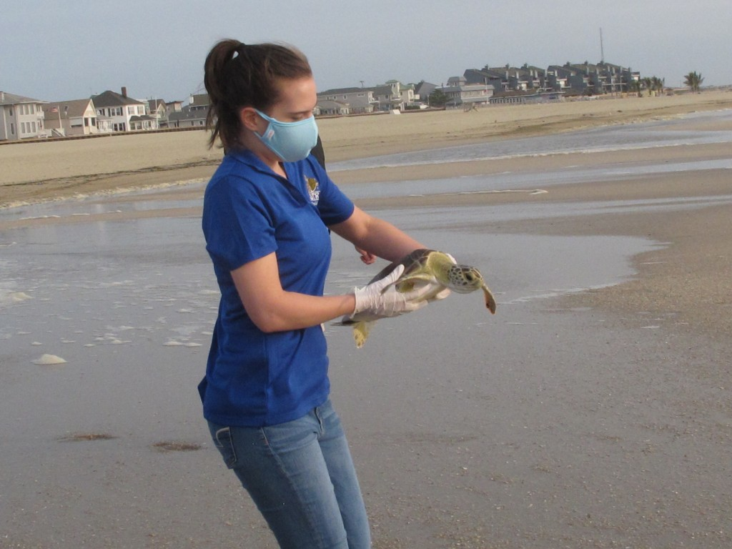 Hayley Hyams, a volunteer with Sea Turtle Recovery, carries a green sea turtle named Melbourne to the ocean in Point Pleasant Beach, N.J. on Tuesday, ...