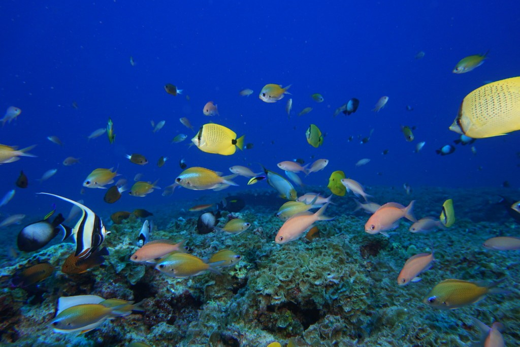 FILE - In this Sept. 6, 2017 photo provided by the National Oceanic and Atmospheric Administration (NOAA), fish swim in a reef at Pearl and Hermes Ato...