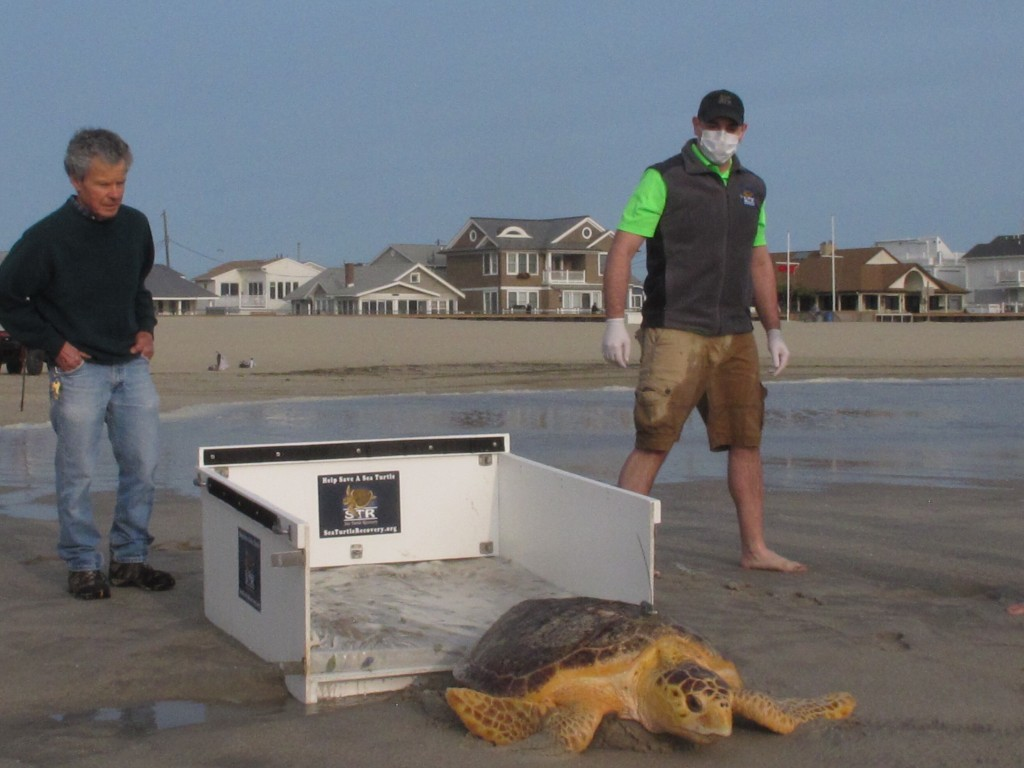 Tabitha, a 168-pound loggerhead turtle, crawls from her transport crate toward the ocean in Point Pleasant Beach, N.J. after being released Tuesday, S...