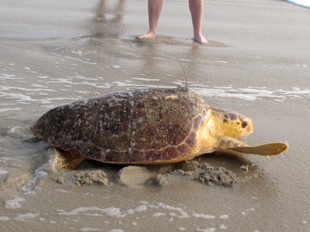 Tabitha, a 168-pound loggerhead turtle, crawls toward the surf in Point Pleasant Beach, N.J. Tuesday, Sept. 15, 2020, after being released by Sea Turt...