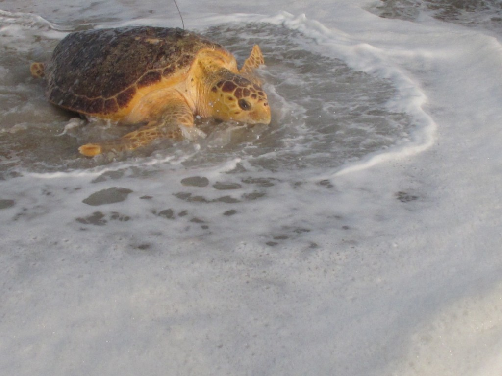Tabitha, a 168-pound loggerhead turtle, crawls into the ocean in Point Pleasant Beach, N.J. Tuesday, Sept. 15, 2020, after being released by Sea Turtl...