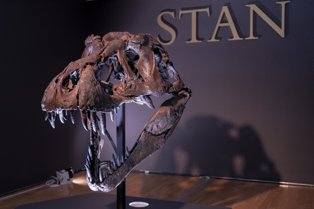 The skull of Stan, one of the largest and most complete Tyrannosaurus rex fossil discovered, is on display, Tuesday, Sept. 15, 2020, at Christie's in ...