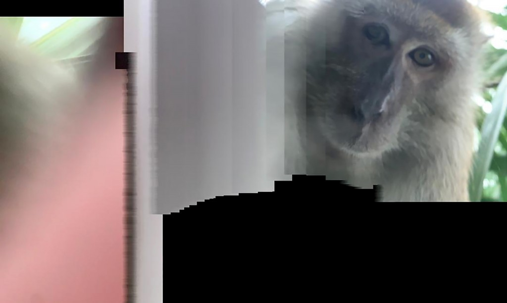 This photo taken with panorama mode but the phone wasn't turned, and provided by Zackrydz Rodzi shows a monkey which took a selfie in Batu Pahat in th...