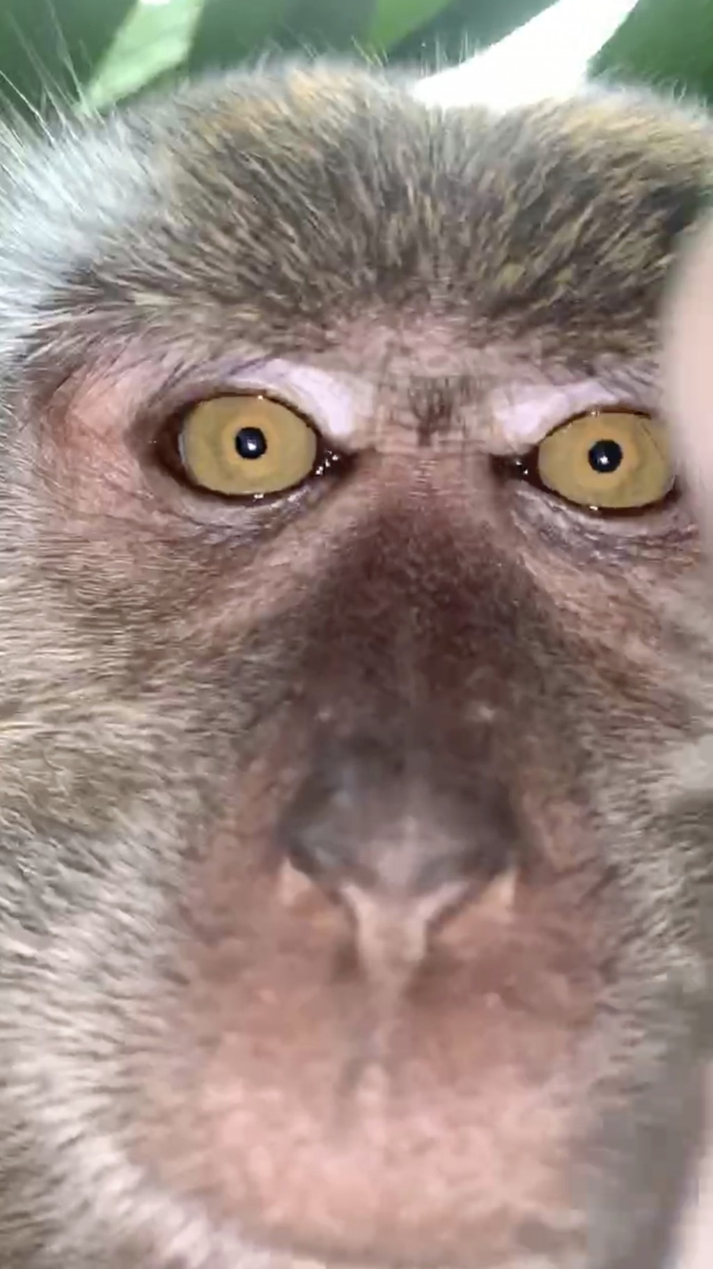 This photo provided by Zackrydz Rodzi shows a monkey which took a selfie in Batu Pahat in the southern state of Johor, Malaysia on Saturday, Sept. 12,...