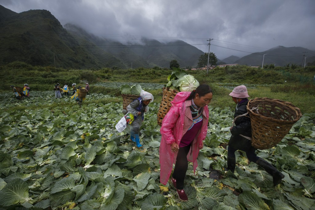 Minority women collect cabbages at a farm near their village houses built by the Chinese government for the ethnic minority members in Ganluo county, ...